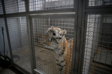 Wild Siberian tiger kept in cage inside a circus menagerie - animal abuse