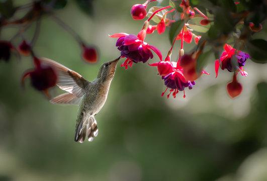 Anna's Hummingbird Fuchsia 2943
