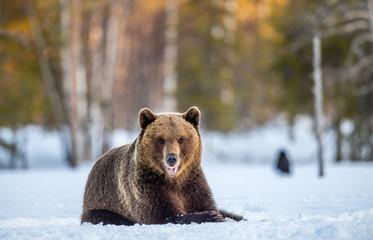 Brown Bear on a snow-covered swamp in the spring forest. Sunset light. Eurasian brown bear, Scientific name: Ursus arctos arctos. Natural habitat