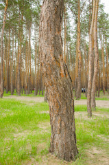 Fototapeta Pine forest by the lake. Lake in the sand pit. Big, old, curve derego. Pines, eaten on the edge of the lake.