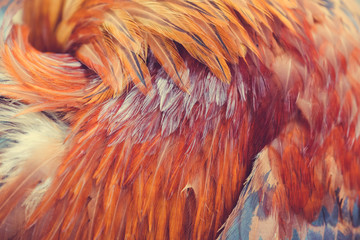 Red rooster feathers sticking out in different directions as a background or backdrop Wall mural