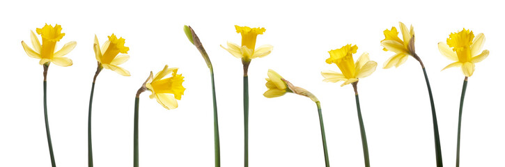 Obraz A collection of yellow daffodils flowers isolated against a white background. - fototapety do salonu