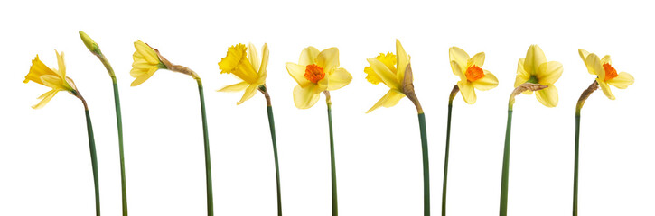 Fotobehang Narcis A collection of yellow daffodils flowers isolated against a white background.