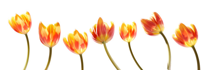 A collection of red and yellow tulip flowers isolated on a white background