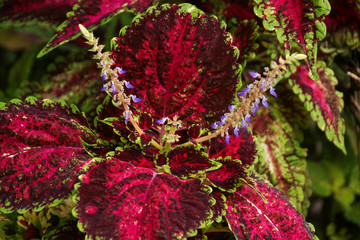 Leaves of a  coleus plant or painted nettle in St. Lucia - Lesser Antilles