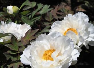 白い牡丹の花 春の庭