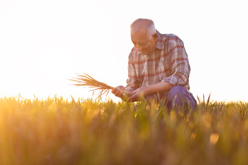 Senior farmer standing in young wheat field and examining crop in his hands at sunset.