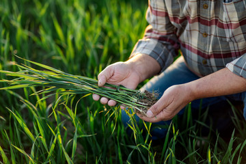 Close up of senior farmer hands examining wheat crop in his hands. Fotomurales
