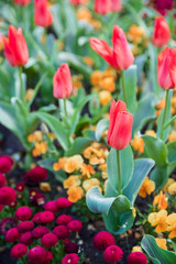 Tulips on a Flowerbed