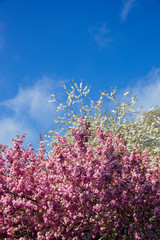 White and Pink Blossom Trees