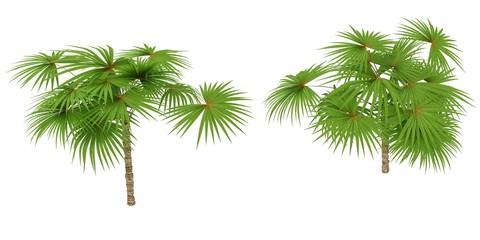 Palmie Tree