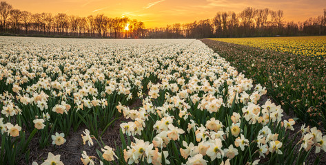 Colorful blooming flower field with white Narcissus or daffodil during sunset.