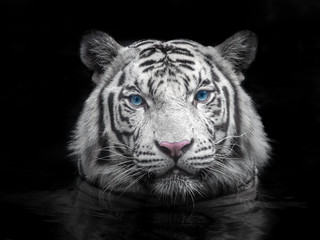 Photo sur Toile Tigre Face of Siberian white tiger on a black background.