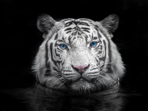 Face of Siberian white tiger on a black background.