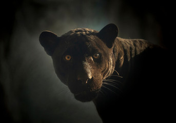 Foto auf Leinwand Panther Black Jaguar's face in the natural atmosphere.