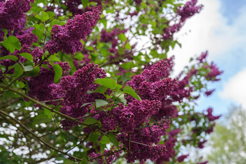 purple flower branches of a lilac or syringa vulgaris bush in spring, copy space