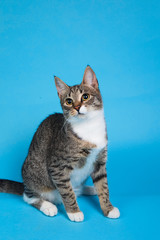 Foto op Aluminium Kat Studio shot of a gray and white striped cat sitting on blue background