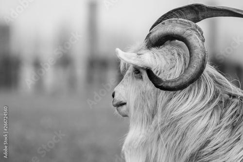 kiko goat black and white portrait photo-image