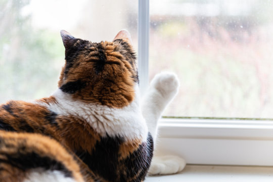 Closeup of one female cute calico cat lying down by windowsill sill indoors of house home room looking out through window touching with paw