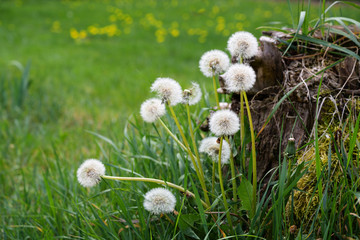 dandelion puff flowers, the beautiful weed grows on a tree stump in the green meadow, copy space