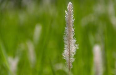 Blady grass flower on natural background blur.