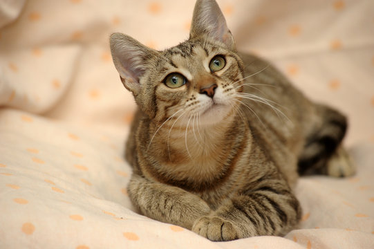 portrait of a beautiful brown cat with stripes