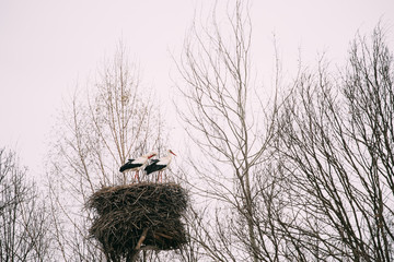 Two Adult European White Storks Sitting In Nest In Spring Day. Belarus