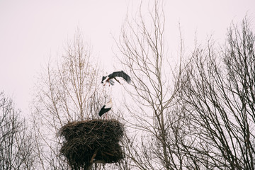 Two Adult European White Storks Near Nest In Spring Day. Belarus