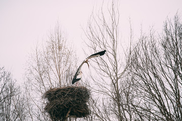 Two Adult European White Storks Sitting And Flying Near Nest In Spring Day. Belarus
