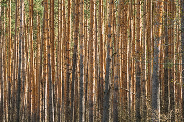 Sunny Day In Pine Forest. Close View Of Trunks In Coniferous Forest