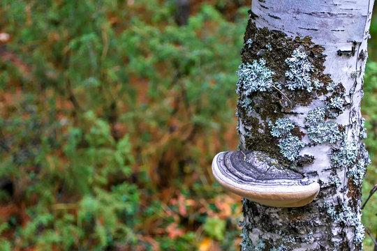 Chaga Mushroom on a Birch Tree