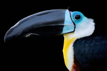 Side profile and close-up of a pretty channel-billed toucan isolated on a black background (Ramphastos vitellinus)