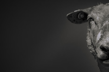 Fond de hotte en verre imprimé Sheep Half-face portrait of a sheep isolated on black-gray background in Lower Saxony, Germany