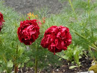 Fototapeta Paeonia tenuifolia 'Rubra Plena'. Pivoine à feuilles de fougère à grosses fleurs doubles ou Pivoine goutte de sang ou Pivoine botanique au feuillage filiforme, vert et brillant
