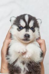 Beautiful siberian husky puppies new born