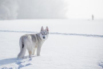 siberian husky winter playing in snow