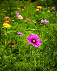 Field of Cosmos in Bloom