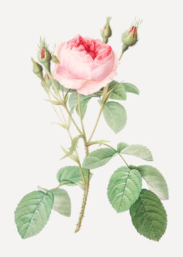 Vintage rosebush drawing