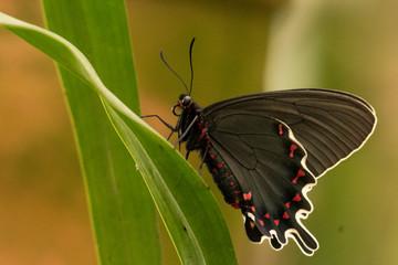 Foto auf Leinwand Schmetterling Mariposa black