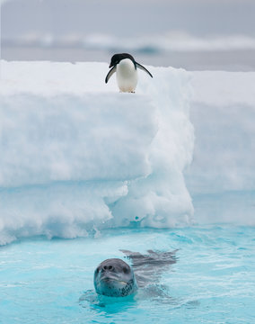 Adelie penguin watches as a leopard seal patrols along an iceberg in Antarctica