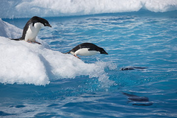 Adelie penguins leap into the ocean from an iceberg