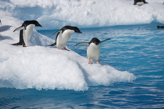 Adelie penguins head to the ocean on an Antarctic iceberg