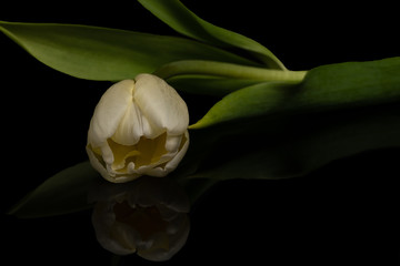 Single White Tulip Flower Reflecting on Black Background