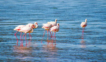 beautiful flamingos walking around the lagoon and looking for food