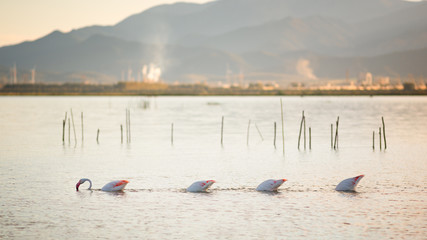 Three flamingos with their heads inside the water and one outside