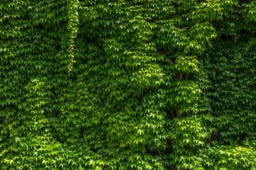 Ivy Sprawl