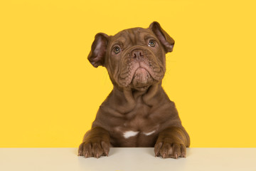 Cute old english bulldog puppy with paws on a table looking up on a yellow background