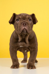 Cute old english bulldog puppy standing on a white underground and a yellow background