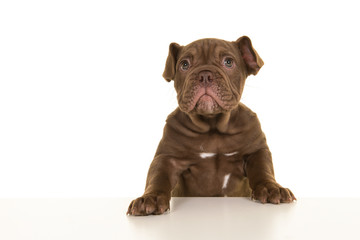 Cute old english bulldog puppy with paws on a table on a white background