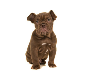 Cute old english bulldog puppy looking at camera sitting isolated on a white background